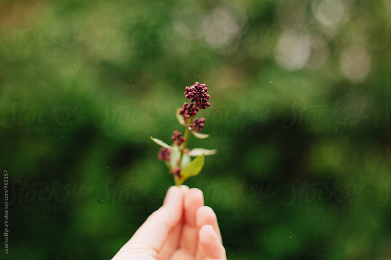 Anonymous hand holding small lilac. by Jessica Byrum for Stocksy United