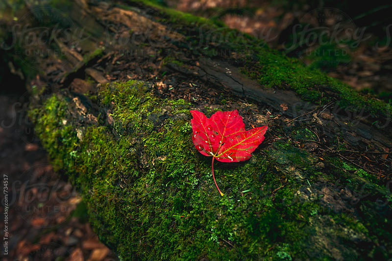 A Bright Red Autumn Leaf by Leslie Taylor for Stocksy United