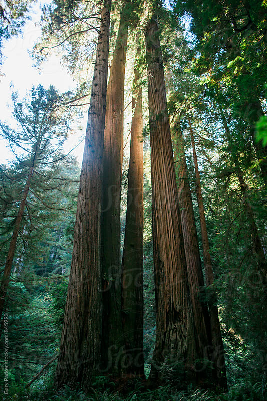 Tall redwood trees backlit by the sun in the Redwood National Park by Gary Parker for Stocksy United