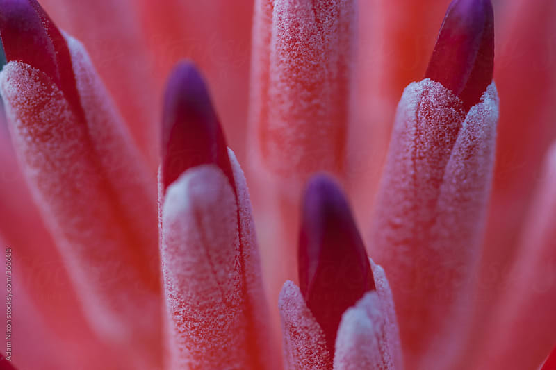 Close-up of a Bromeliad Flower by Adam Nixon for Stocksy United