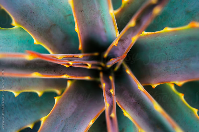 Aloe succulent plant with thorns macro close-up shot by Alejandro Moreno de Carlos for Stocksy United