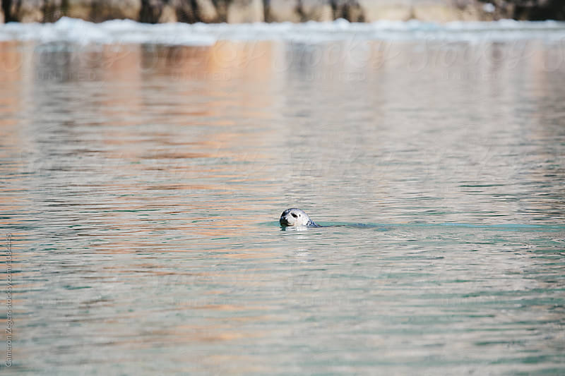 seal swimming in Alaskan waters by Cameron Zegers for Stocksy United