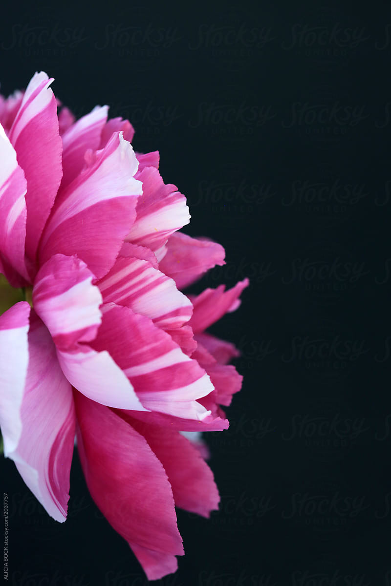 A Vibrant Pink Variegated Peony Flower Against A Black Background