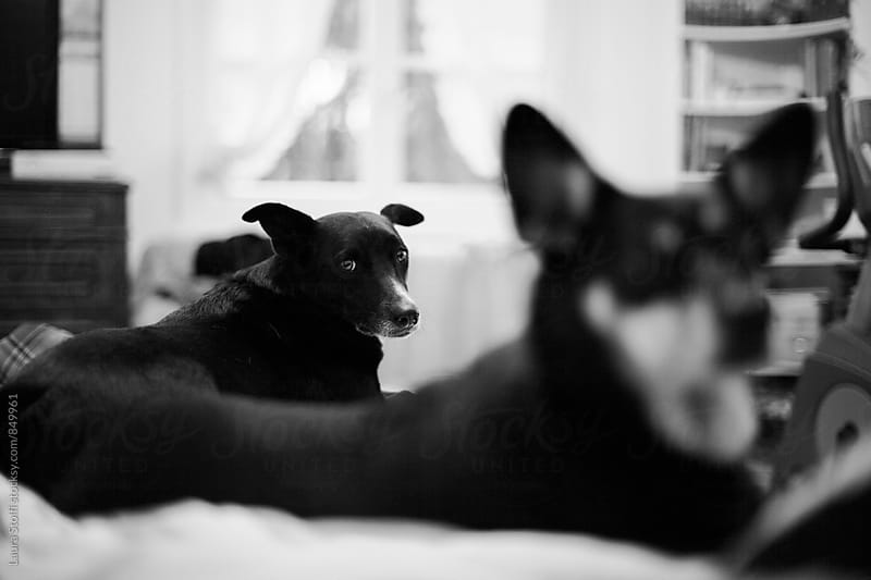 Dog laying on bed behind another dog and looking straight at the camera, black and white by Laura Stolfi for Stocksy United