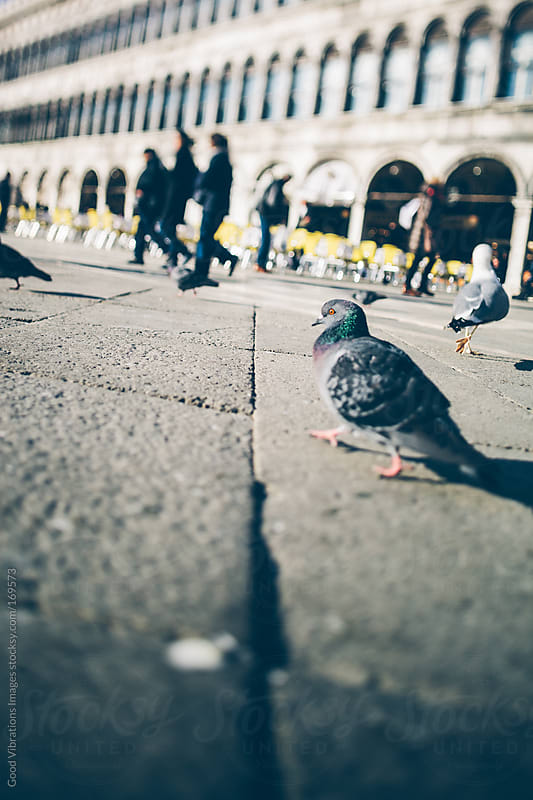 Pigeon in Venice by Good Vibrations Images for Stocksy United