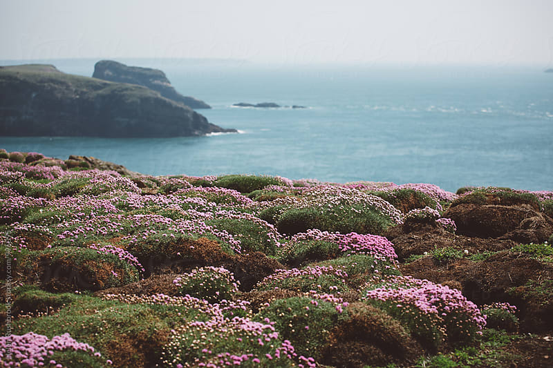 Pillows of Armeria Maritima on the coast of Wales, UK. by Helen Rushbrook for Stocksy United