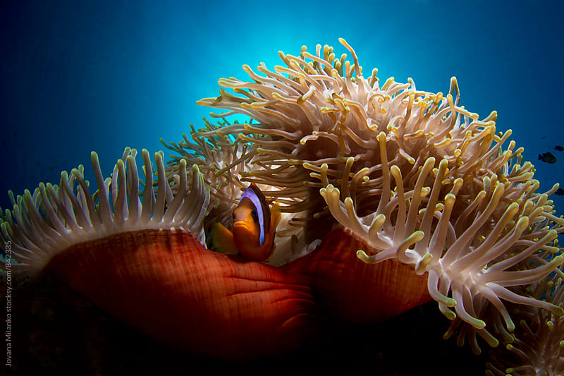 Clown fish in red anemone by Jovana Milanko for Stocksy United