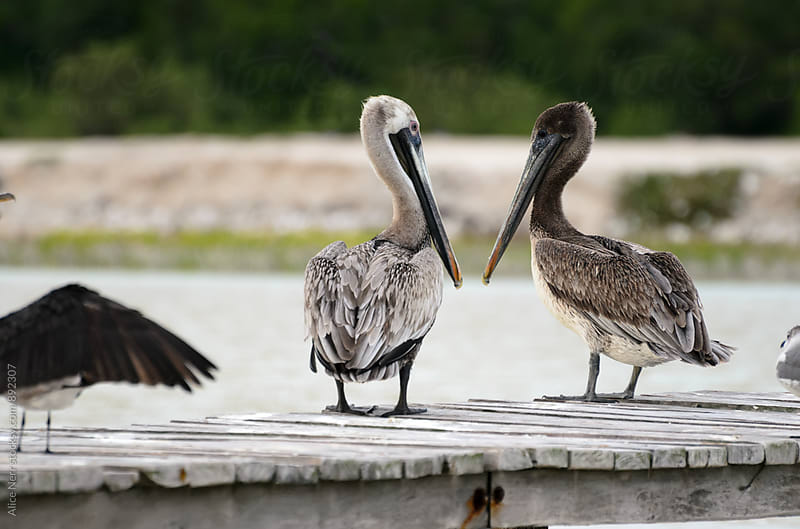 Couple of pelicans looking at each other by Alice Nerr for Stocksy United