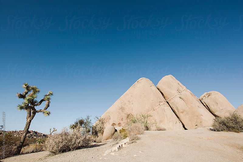 A joshua tree next to boulders in the desert. by Holly Clark for Stocksy United