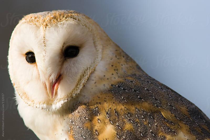 Barn Owl by Alex Hibbert for Stocksy United