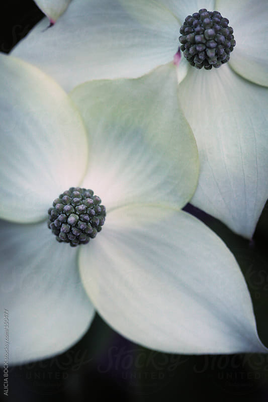 Dogwood Flowers by ALICIA BOCK for Stocksy United