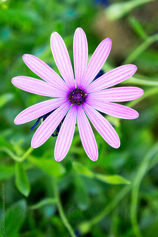 Pink daisy by ACALU Studio for Stocksy United