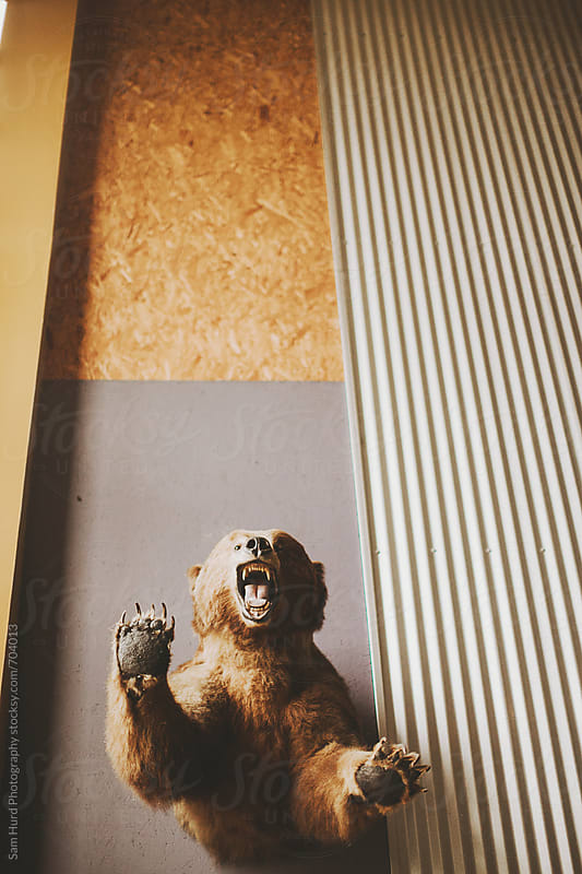 taxidermy bear growling by Sam Hurd Photography for Stocksy United