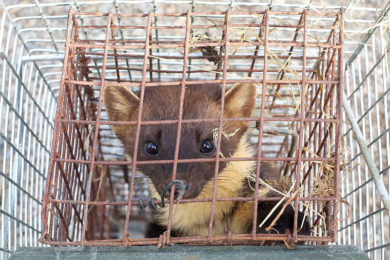 A wild pine marten trapped in a cage by Will Clarkson for Stocksy United