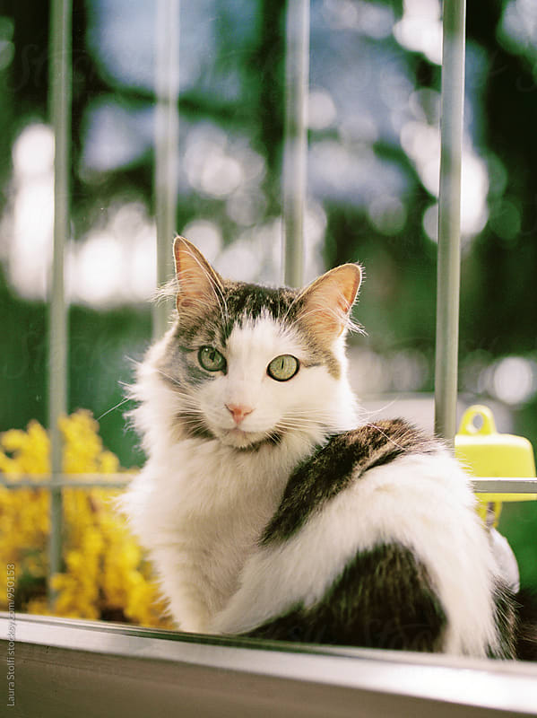 Siberian cat sits behind closed window and looks inside the home straight at camera by Laura Stolfi for Stocksy United
