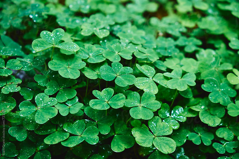 Detail of Clover growing wild. Derbyshire, UK. by Liam Grant for Stocksy United