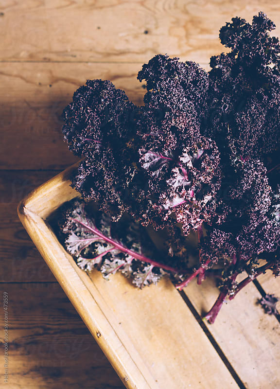Purple curly Kale. by Helen Rushbrook for Stocksy United