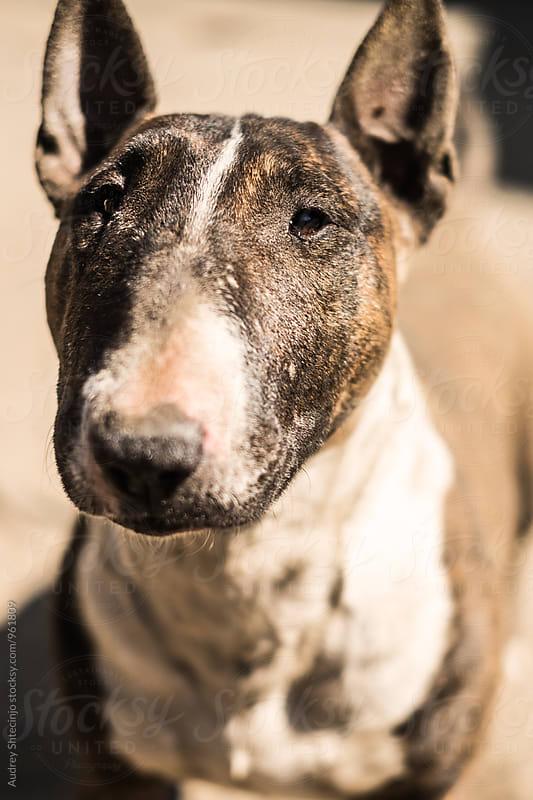 Bull terrier/portrait by Audrey Shtecinjo for Stocksy United