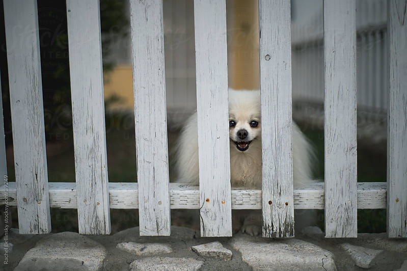 White pomeranian smiles behind a white picket fence by Rachel Bellinsky for Stocksy United