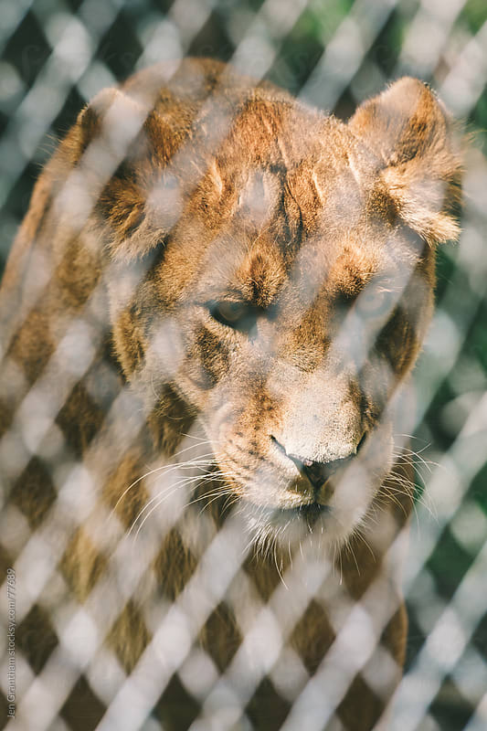 Lion in captivity by Jen Grantham for Stocksy United