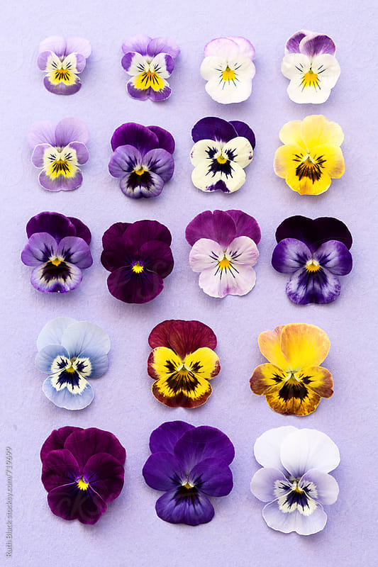 Pansy flower heads ordered by size by Ruth Black for Stocksy United