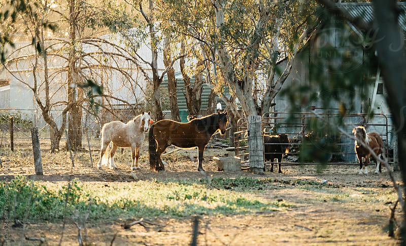 Horses and Shetland Ponies  by Gary Radler Photography for Stocksy United
