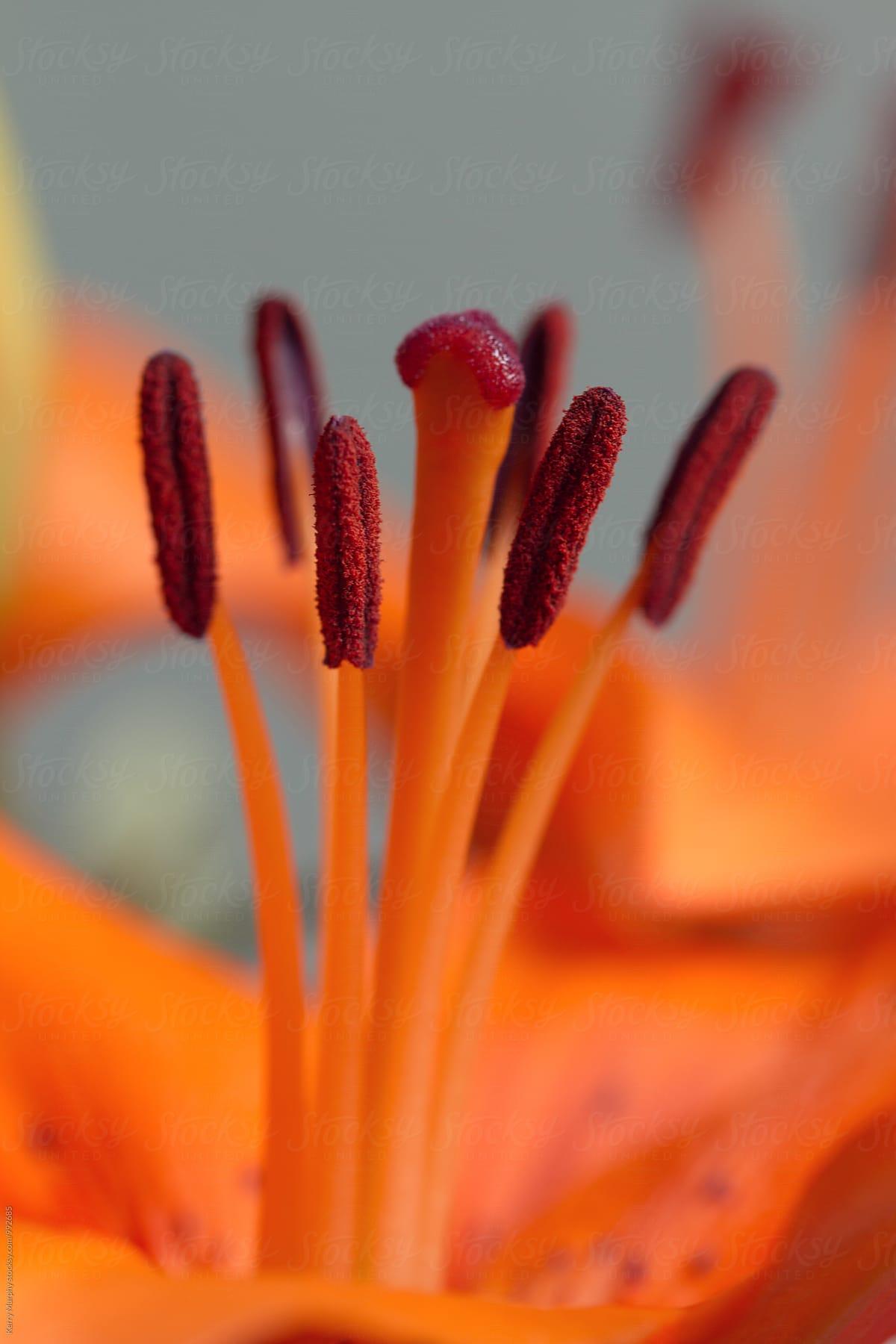 Macro Of Center Of Orange Lily Flower Stocksy United