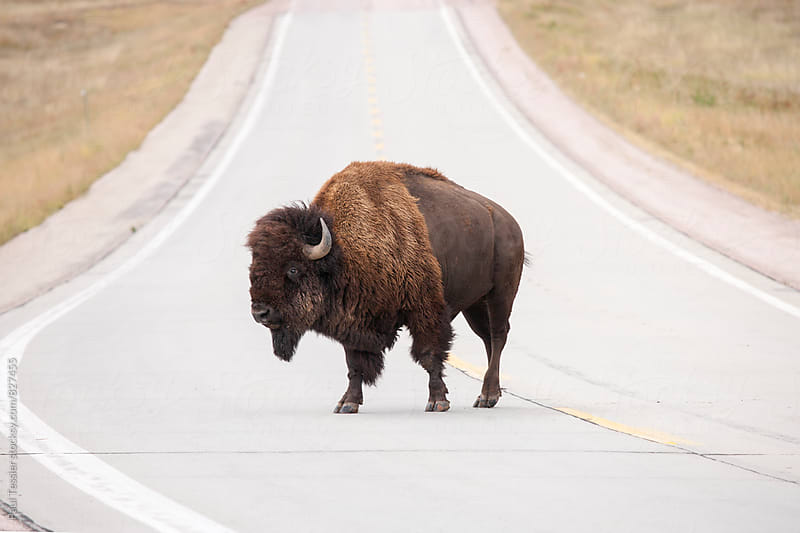 Bison on the Road by Paul Tessier for Stocksy United