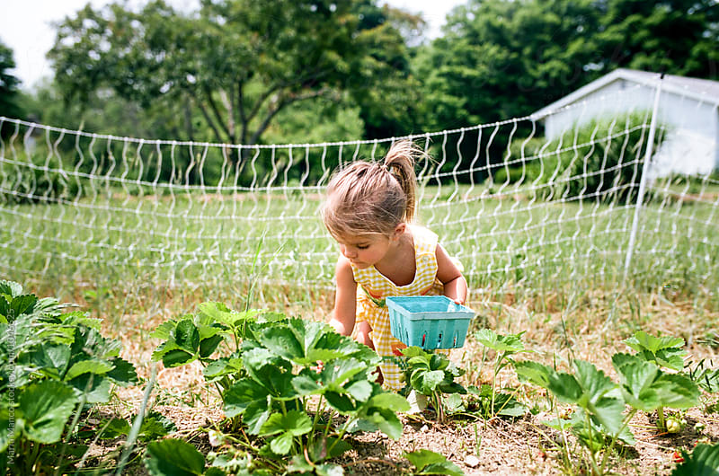 little girl picking strawberries on farm by Maria Manco for Stocksy United