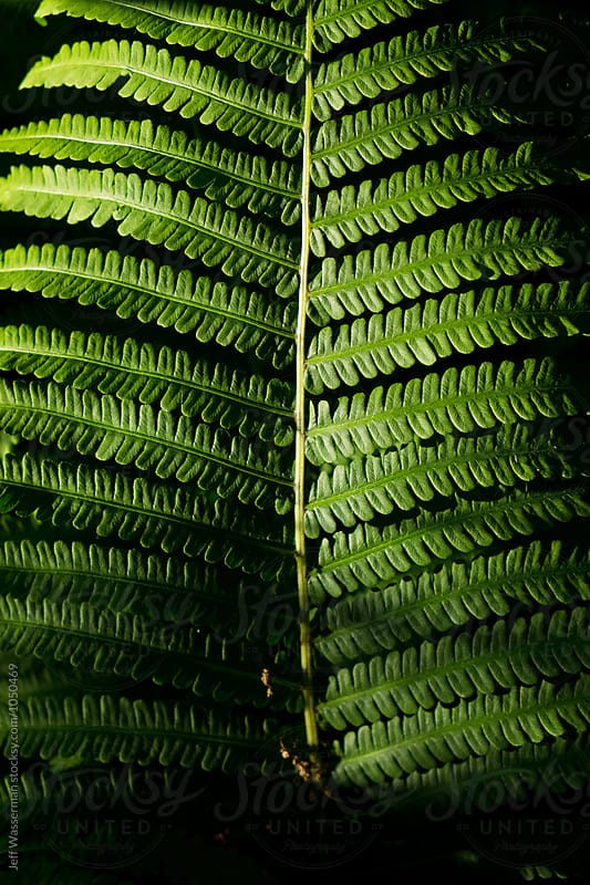 Fern in Garden by Jeff Wasserman for Stocksy United