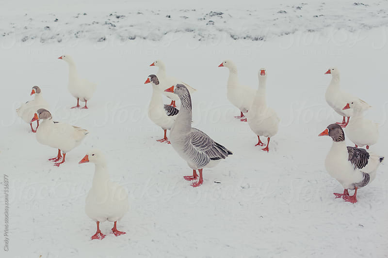 Geese standing in the snow by Cindy Prins for Stocksy United