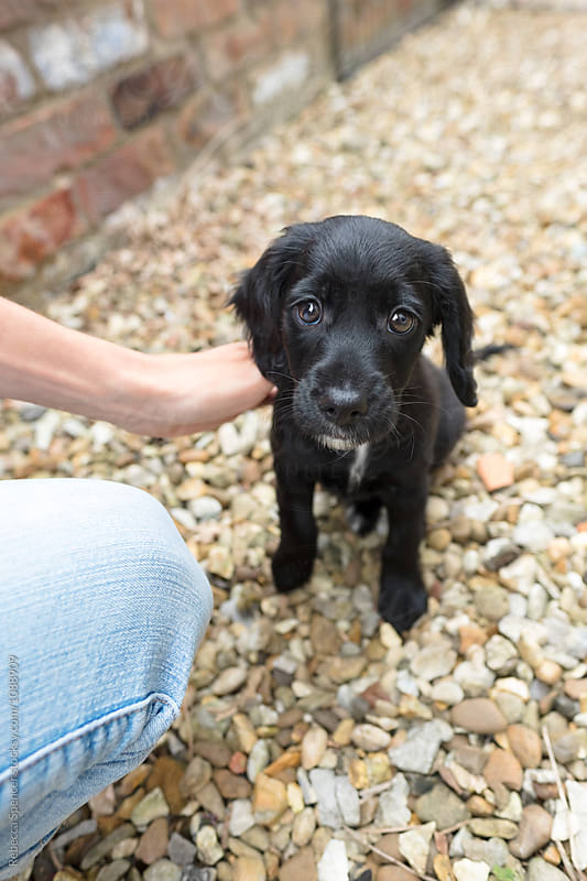 Young black puppy being stoked by her owner by Rebecca Spencer for Stocksy United