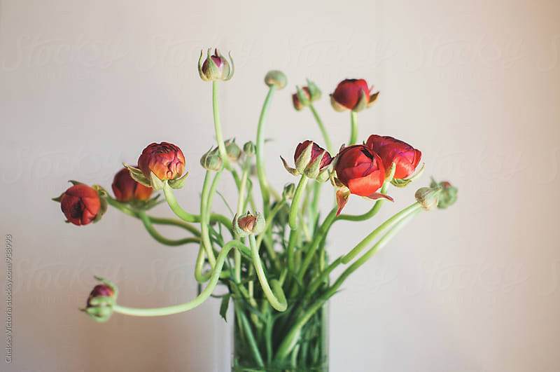 Ranunculus by Chelsea Victoria for Stocksy United