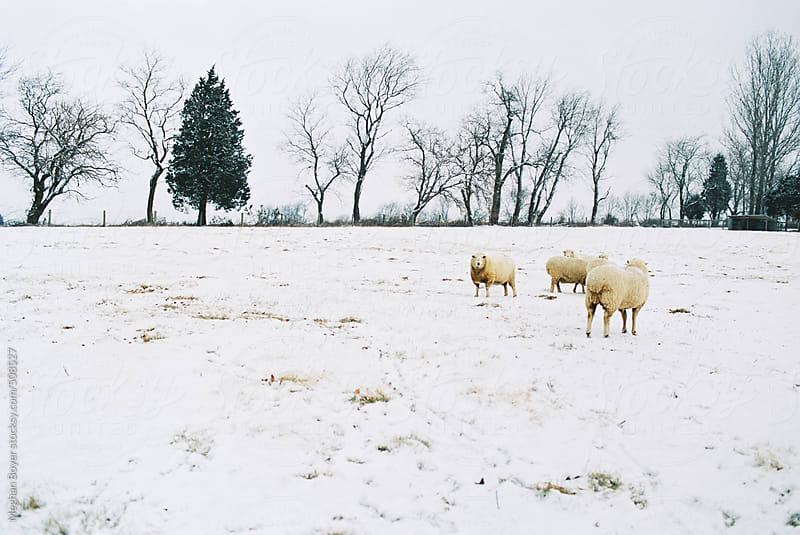 Sheep standing in a snowy field by Meghan Boyer for Stocksy United