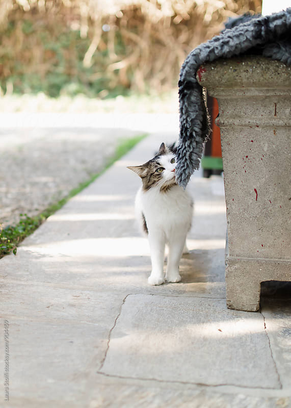 Siberian cat sniffing around in sunny front yard by Laura Stolfi for Stocksy United