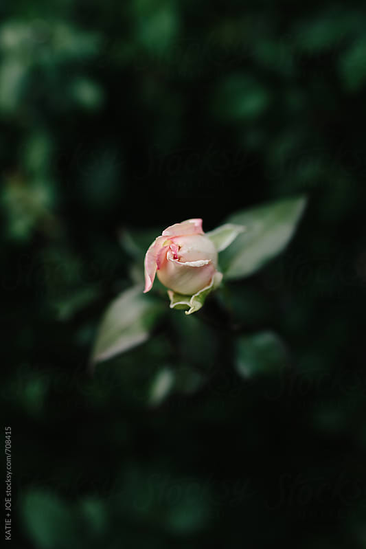 single pink rose bud  by KATIE + JOE for Stocksy United