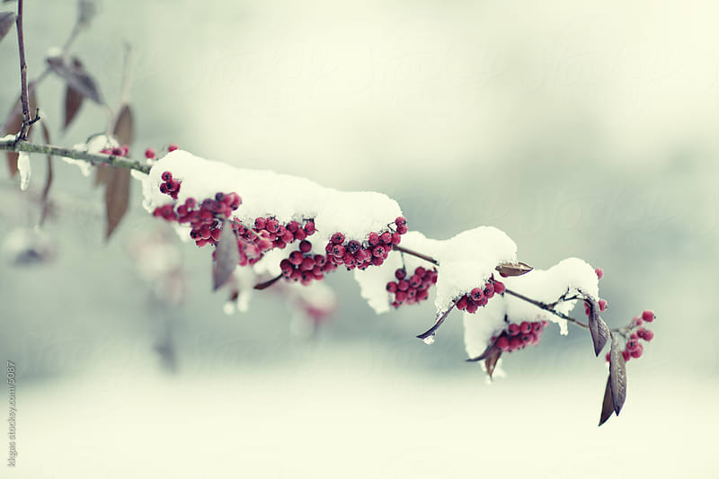 Winter berries  by kkgas for Stocksy United