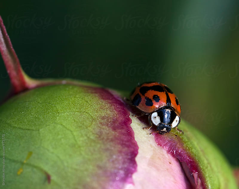 Spotted Ladybug Macro by Brandon Alms for Stocksy United