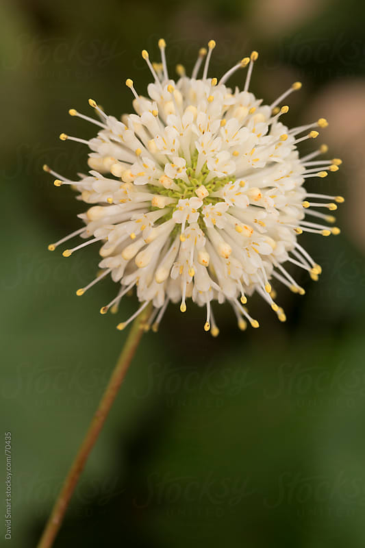 Buttonbush flower cluster by David Smart for Stocksy United