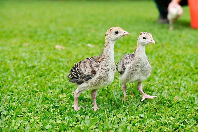 Two turkey chicks walking on green grass by Lawren Lu for Stocksy United