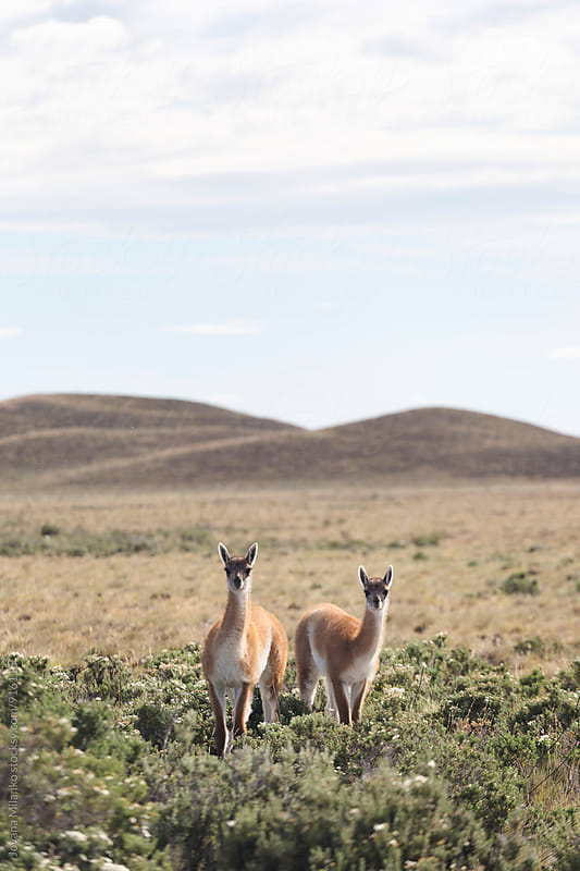 Two guanacos standing in pampas looking at the camera by Jovana Milanko for Stocksy United