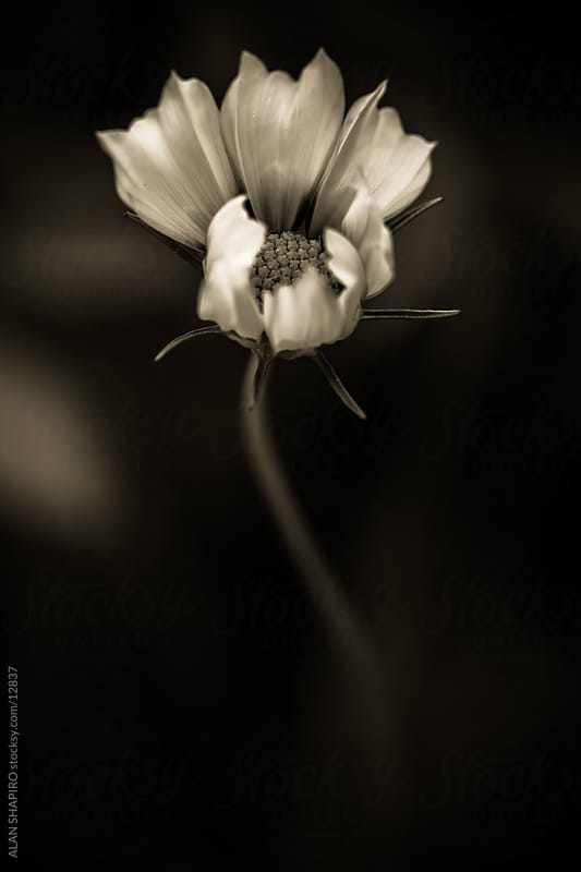 Monochrome Flower by alan shapiro for Stocksy United
