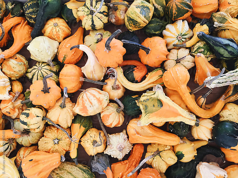 Gourds at the Pumpkin Patch by B. Harvey for Stocksy United