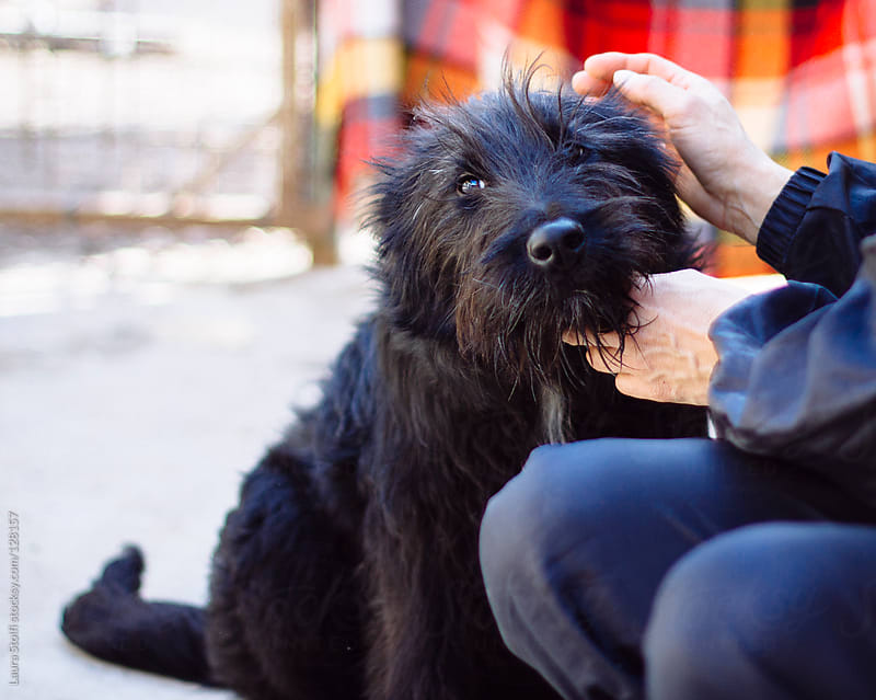 Woman hands caressing and stroking a giant schnauzer dog by Laura Stolfi for Stocksy United