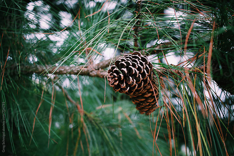Pine cone trees in the autumn and winter season by Greg Schmigel for Stocksy United