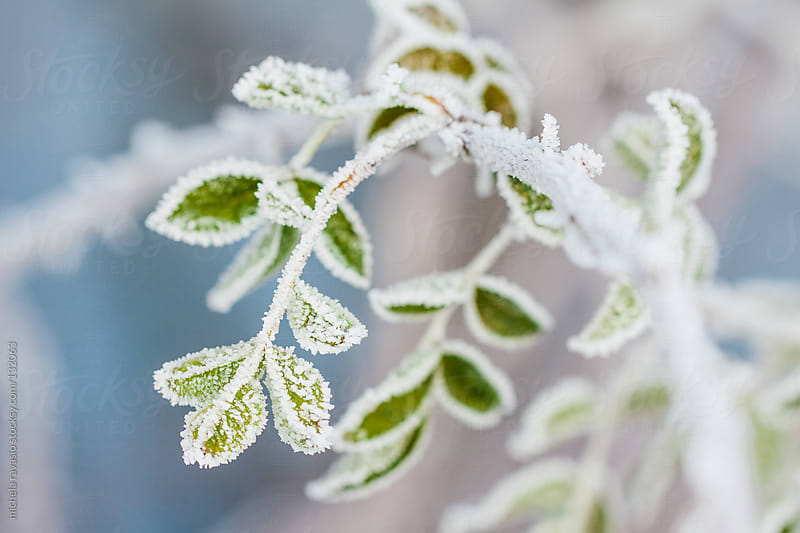 Frozen leaves by michela ravasio for Stocksy United