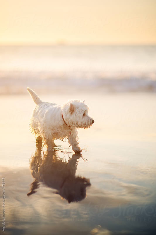 White dog at the beach at sunset by Angela Lumsden for Stocksy United