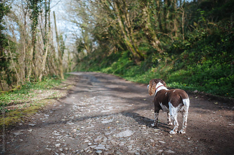 Dog standing on a footpath in the woods by Suzi Marshall for Stocksy United