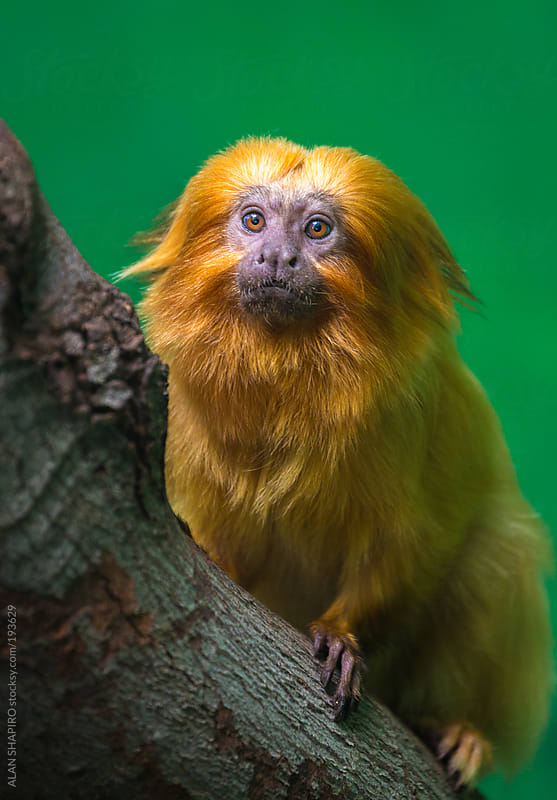 Golden Lion Tamarin by alan shapiro for Stocksy United