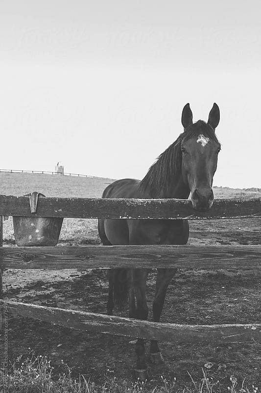 Horse looking over fence in Black and white by Andrew Cebulka for Stocksy United